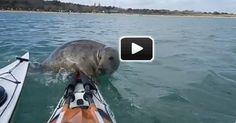 Seal Tries to Climb on Kayak | Videos | Paddling.net
