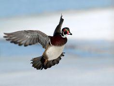 wood duck flying