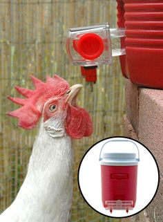 """""""Fluffy"""" drinking from the BriteTap chicken waterer. The BriteTap chicken nipple waterer keeps your chicken's water free of poop. There are no filthy water pans for you to touch or wash. The BriteTap waterer attaches to standard Igloo and Rubbermaid brand beverage coolers. Just unscrew the cooler's spigot and replace it with the BriteTap waterer. To learn more visit www.ChickenWaterer.com."""