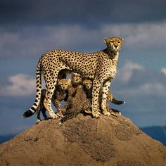 Cheetah family all checkin out the terrain. Animals And Pets, Baby Animals, Cute Animals, Beautiful Cats, Animals Beautiful, Beautiful Family, Big Cats, Cats And Kittens, Cheetah Family