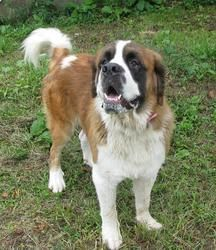 BEAUTIFUL ST BERNARD FOUND IN SALEM, OHIO!!!! Victor is an adoptable Saint Bernard St. Bernard Dog in Lisbon, OH. Hi there. My name is Victor! I am about 1 1/2 years old and I weigh well over 120 lbs. I am huge beautiful boy here at the pound loo...