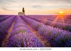 Lavender farm field in Provence, Valensole Plateau, France. Beautiful landscape, sunset over lavender field. Types Of Lavender Plants, Lavender Flowers, Lavender Soap, French Lavender, Top 10 Destinations, Provence Lavender, Lavender Hidcote, Beau Site, Flower Landscape