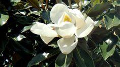Nov 2011, flor da australia.