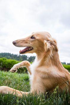 Silken Windhound, Allagante's Gold Kugerrand