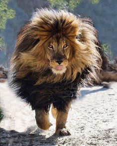 Fabulous and gorgeous lion walking. The real lion king! Beautiful Cats, Animals Beautiful, Beautiful Cover, Big Cats, Cats And Kittens, Siamese Cats, Lion Walking, Animals And Pets, Cute Animals