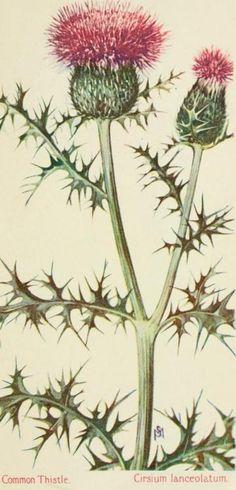 Field Book of American Wild Flowers. F. Schuyler Mathews, 1905.