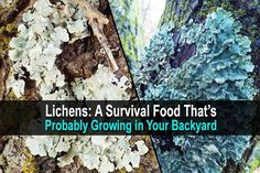 Lichens: A Survival Food That's Probably Growing in Your Backyard | DisasterRecoveryManager
