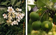 Jeřáby (Sorbus) a Hruškojeřáb Weed, Wild Flowers, Succulents, Bulb, Fruit, Garden, Plants, Garten, Wildflowers