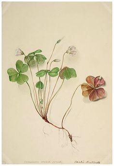 Watercolour drawing of Wood-sorrel Oxalis acetosella. Initialled MRD. Widespread in woods and hedgerows. Collected in Prudhoe, Northumberland, in 1849. (257 x 175mm) [331×480]