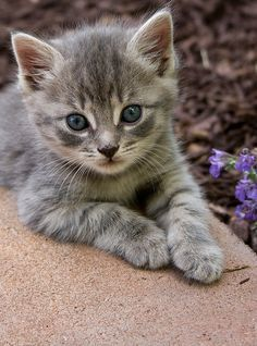 Lil' Blue Eyes! #smartcat - Know more about your cat at Catsincare.com!