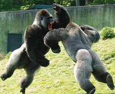 Gorilla fight!