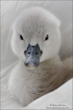 baby swan~Are you sure?  This is NO ugly duckling!