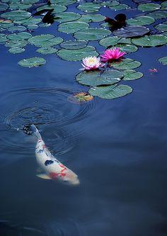 Koi pond by orihashi photostream Art Koi, Fish Art, Koi Fish Pond, Fish Ponds, Koi Kunst, Japanese Koi, Lily Pond, Beautiful Fish, Goldfish