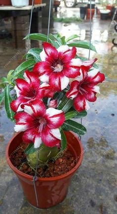 100% True Desert Rose seeds adenium obesum seeds bonsai flower seeds adenium double petals potted plant brave Heart 2 pcs/bag