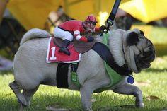 Racing pug lol