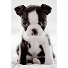 Boston Terriers | Puppy | Face | Merchandise | Gifts #BostonTerriers #BostonTerrierGifts #MustLoveBostonTerriers