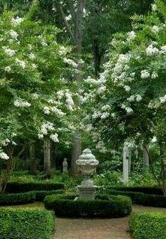 White Crepe Myrtles (Lagerstroemia indica 'Natchez'), Boxwoods (Buxus microphylla japonica)
