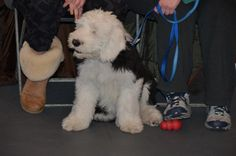 Old English Sheepdog. Andrea Arden Dog Training puppy class. 2013. #dogs #puppies