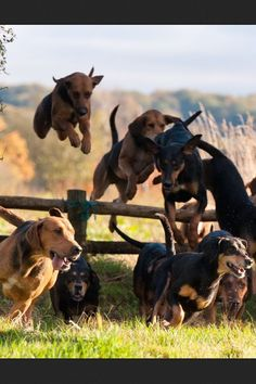 Fox hunt Black and Tan Hounds #horses #FoxHunting