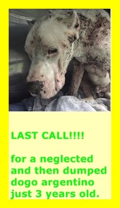 Another victim of horrific neglect and abuse dumped in the Redlands- brought into MDAS today. He is RIADDEN-dogo Argentino #A1677523 thought to be 3 years old. He needs a rescue urgently!!! — hier: Miami Dade County Animal Services. https://www.facebook.com/urgentdogsofmiami/photos/pb.191859757515102.-2207520000.1423051274./922637741103963/?type=3&theater