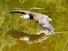 """""""Bald Eagle with the Reflection"""" by Michel Furnamiak: Bald eagle flying close to a surface of the water."""