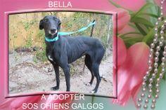 Bella galga martyre d' Espagne a adopter chez sos chiens galgos