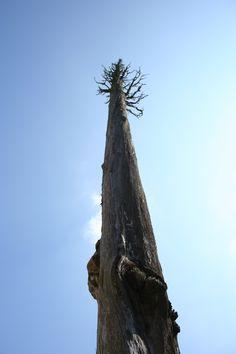 Dry cypress, Umbria
