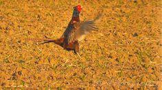 Bažant obecný (Phasianus colchicus),Fasan,Common Pheasant