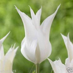 Tulip Lily Flowering 'Sapporo' (25 Bulbs) 12+cm, Late Blooming,NOW SHIPPING !