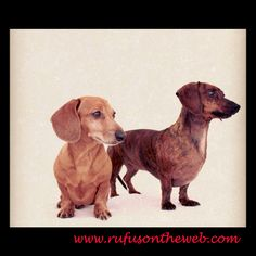 Showcasing the beauty of the brindle doxie http://wp.me/p27Fw1-eJ #dachshund #doxies #beautiful