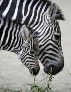 Zebra mother & baby