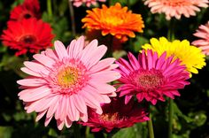 5 Common Daisy Flowers That Are Perfect for Beginning Gardeners - Garden Lovers Club Gerbera Daisy Centerpiece, Types Of Daisies, Best Air Purifying Plants, Flower Garden Design, Concrete Garden, Diy Garden Projects, Annual Plants, Thing 1, Plantation