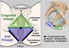 Gross: Bony pelvis, pelvic diaphragm, pudendal nerve at Keck ...