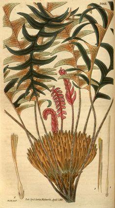 v.58  (1831) - Curtis's botanical magazine. - Biodiversity Heritage Library