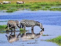 Her er reisen til deg, som ønsker en kortere reise, men som fortsatt vil oppleve mye safari!   Vi avslutter reisen på et godt hotell på Zanzibar! Mombasa, Nairobi, Lodges, Kenya, Flamingo, Safari, Books, Animals, Voyage