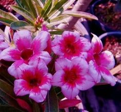 Orange Rainbow Adenium Obesum | Adenium Obesum Desert Rose ' Mabora' 5 Seeds