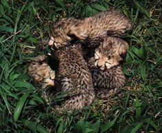 4/5 Newly Cheetah Cubs Nestled in Thick Green Grass.
