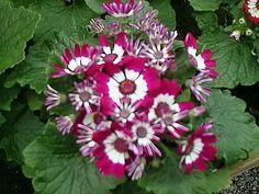 A Cineraria Plant in Bloom, Pericallis cruenta