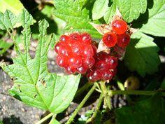 NOICHIGO wild berries 3 Raspberry, Strawberry, Berries, Leaves, Fruit, Flowers, Food, Meal, The Fruit