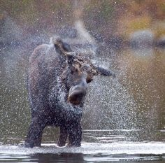 We all need clean water to survive. When I see a wild animal splish-splashing around in wetlands, rivers or streams, it renews my love for clean water. Moose Pictures, Animal Pictures, Moose Pics, Forest Creatures, Wild Creatures, Animals And Pets, Funny Animals, Cute Animals, Moose Deer
