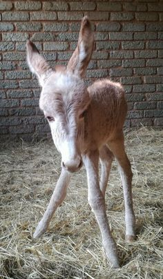 Donkeys and Dwarf Goats SA ~ Cutness is a candyfloss donkey foal...... Welcome to the world our first spring baba and what a cute ass way to get things started..... #springbabies #sorreldonkeyfoal #donkeysanddwarfgoatssa #tooblerriecute #donkeysrock