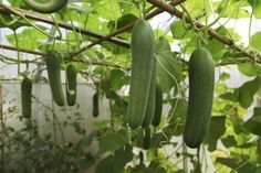 Tips for Growing Cucumbers in Pots