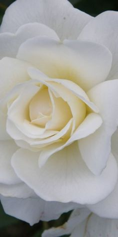 Beautiful white rose ~ so delicate and lovely.