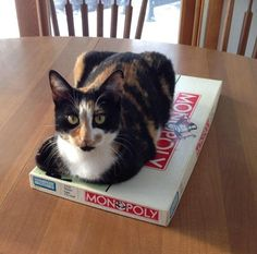 My loaf doesn't want me to play monopoly #aww #cute #cutecats #catsofpinterest #cuddle #fluffy #animals #pets #bestfriend #boopthesnoot