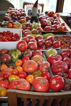 4. Harvesting Tomatoes