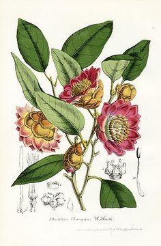 Antique botanical prints from Le Jardin Fleuriste by Charles Antoine Lemaire. Vintage Botanical Prints, Botanical Drawings, Antique Prints, Botanical Art, Botany Illustration, Plant Drawing, Soul Art, Nature Prints, Fauna