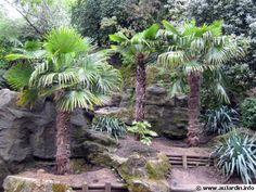 Trachycarpus fortunei, Palmier chanvre, Palmier de Chine, Palmier moulin, Palmier de Chusan