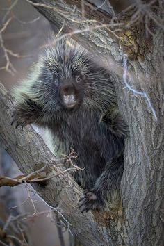 The Porcupine by RobsWildlife.com  - Rob Daugherty*