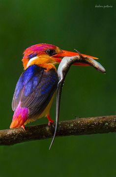 [*- Martín Pescador Enano Oriental (Oriental Dwarf Kingfisher) - Uno de los lugares donde se ve es en Mumbai (Bombay), India  - Probablemente emigran de Sri Lanka. Pequeña ave de colores increíbles. Habitante del bosque, se halla principalmente a lo largo de corrientes de agua en lugares con sombra, no en hábitats abiertos. Extremadamente difícil de ver, pasa con tal velocidad y agilidad que la mayoría de sus avistamientos son sólo como una bola de fuego.]