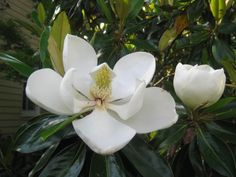 Pick the Right Magnolia | I just smelled a Southern icon and it wasn't Elvis. No, it was the sweet perfume wafting from the enormous white blossoms of our native Southern magnolia. | SouthernLiving.com